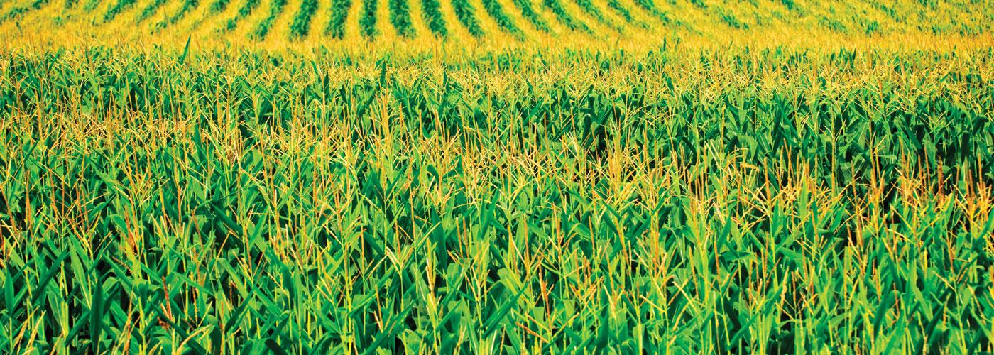 Kukorica előszezoni árak